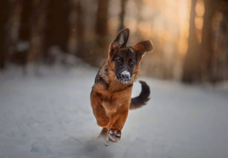 Black and Red German Shepherd playing in the snow