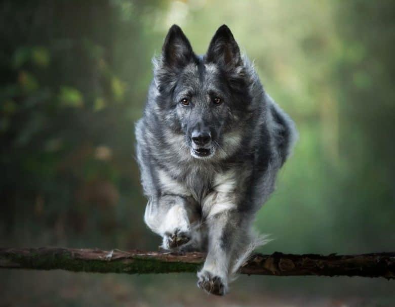 Jumping black and silver German Shepherd