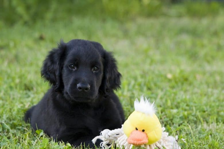 Flat Coated Retriever puppy with a toy