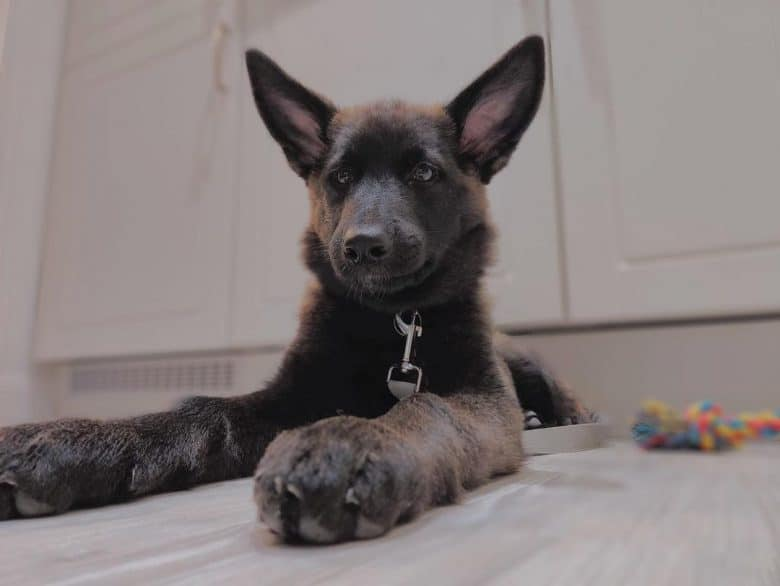 Black German Shepherd Malamute mix