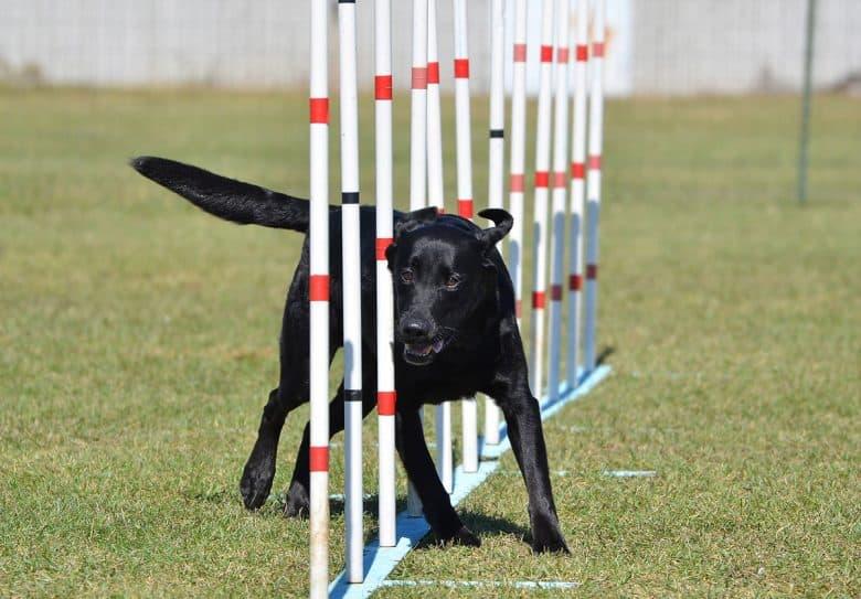 Black Labrador in an agility training