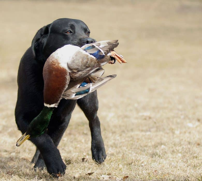 Black Labrador hunting Mallard