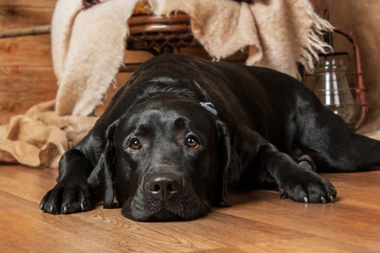 Black Labrador Retriever lying on the floor