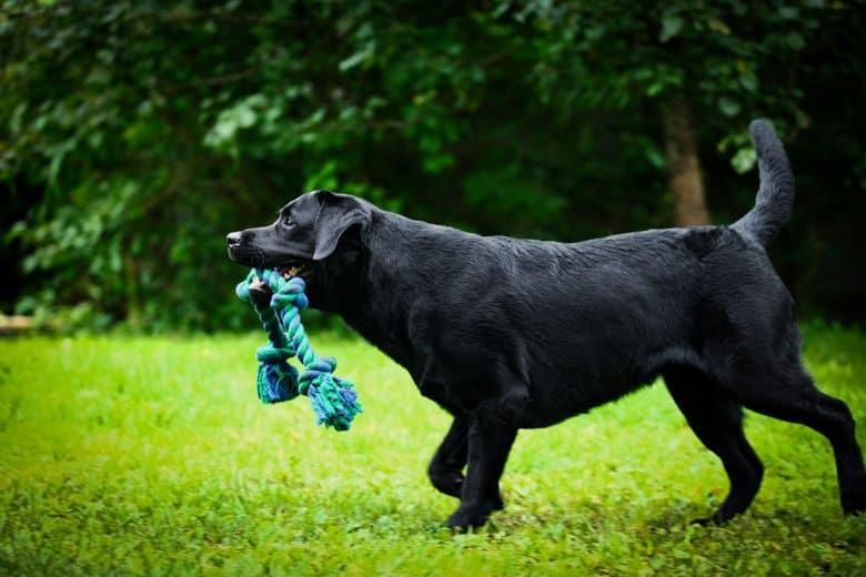 Black Labrador Retriever playing in the park