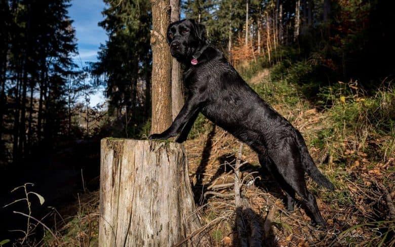 Black Labrador Retriever in the woods
