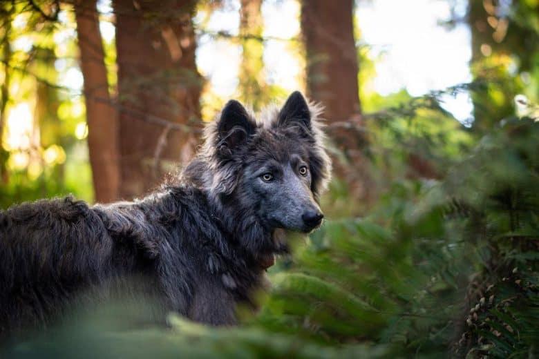 Blue German Shepherd in the woods