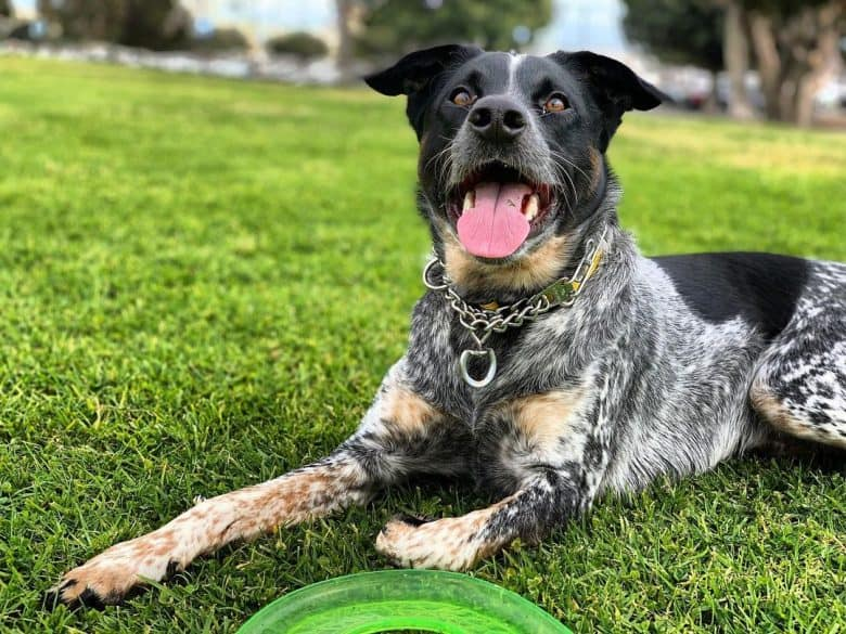 Labraheeler mix dog lying on the field