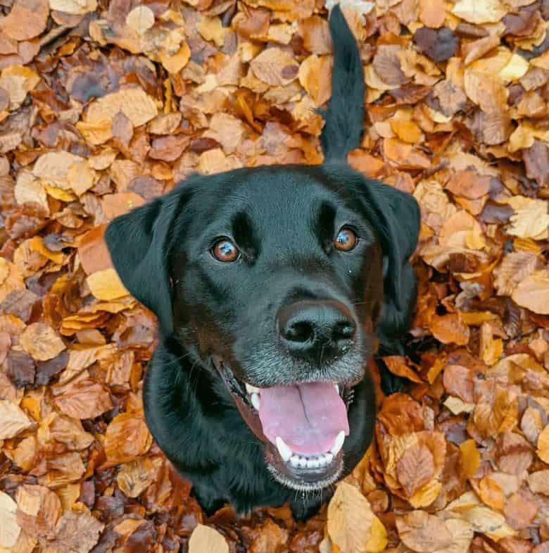 Borador mix dog sitting on the autumn leaves