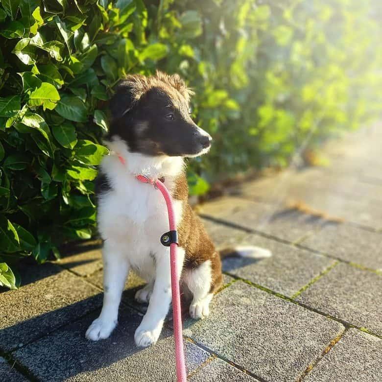 Border Collie Australian Shepherd mix dog
