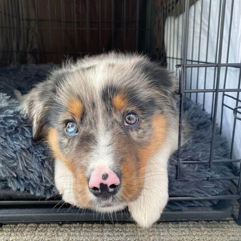 Border Collie Australian Shepherd mix puppy