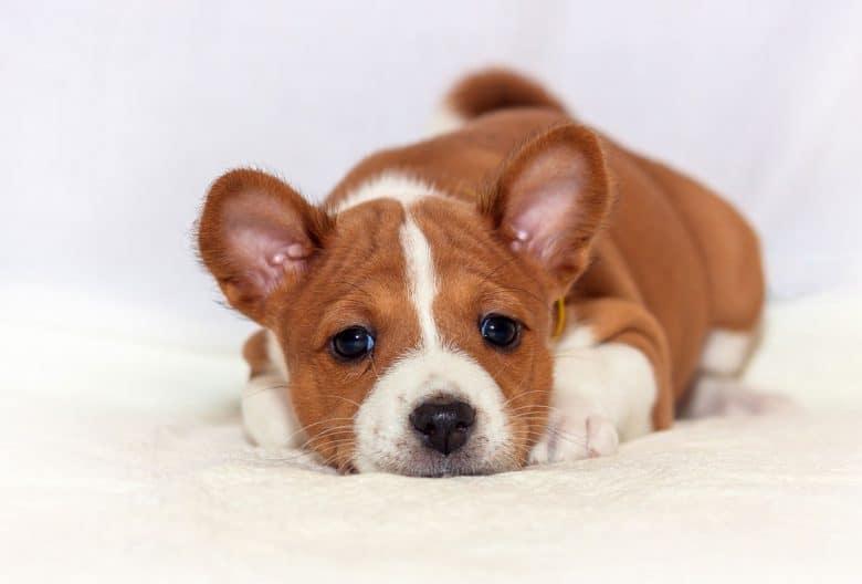 Bored Basenji puppy