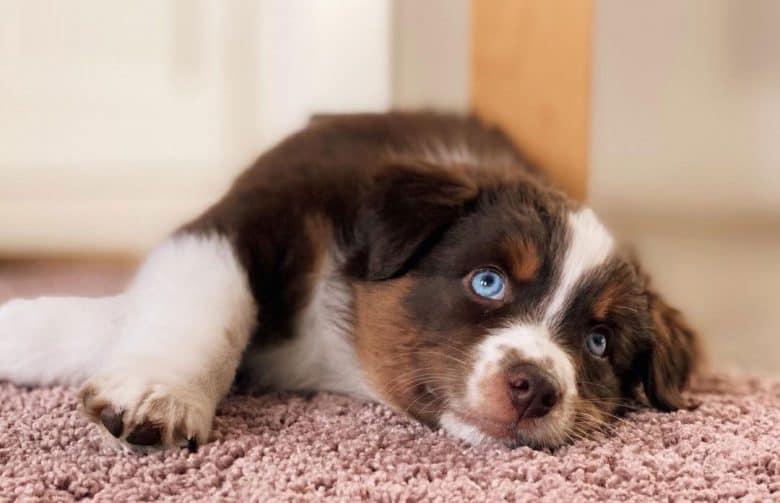 Bored Miniature American Shepherd lying on the carpet