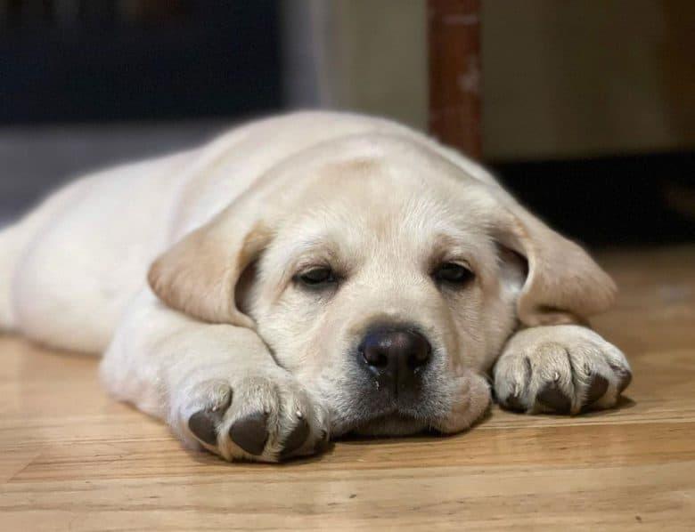 Bored Yellow Labrador puppy