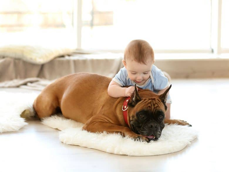 Boxer dog playing with a baby boy