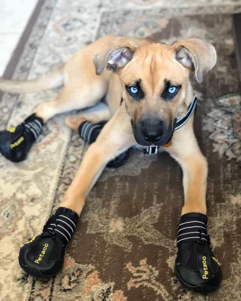 Boxer Husky mix