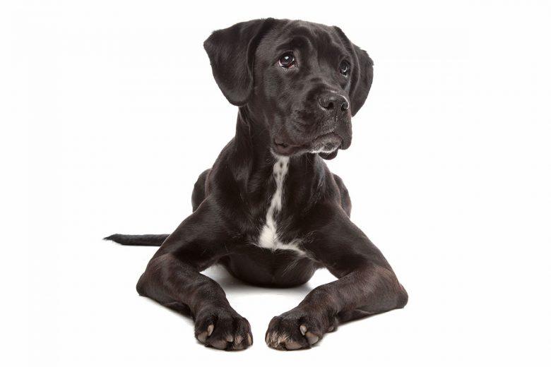 Portrait of a Boxador mix dog