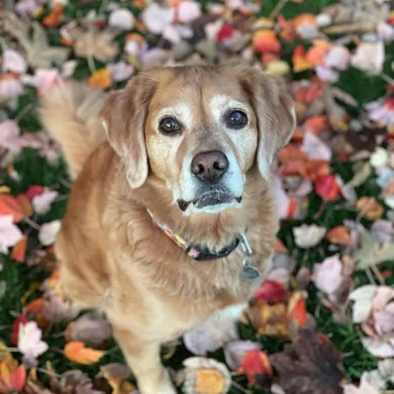 Beautiful portrait of Labany mix dog