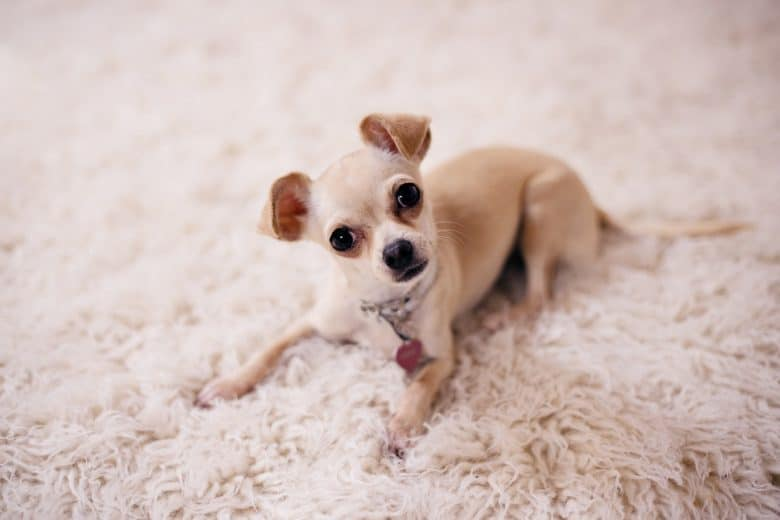 Brown Chihuahua lying on the floor