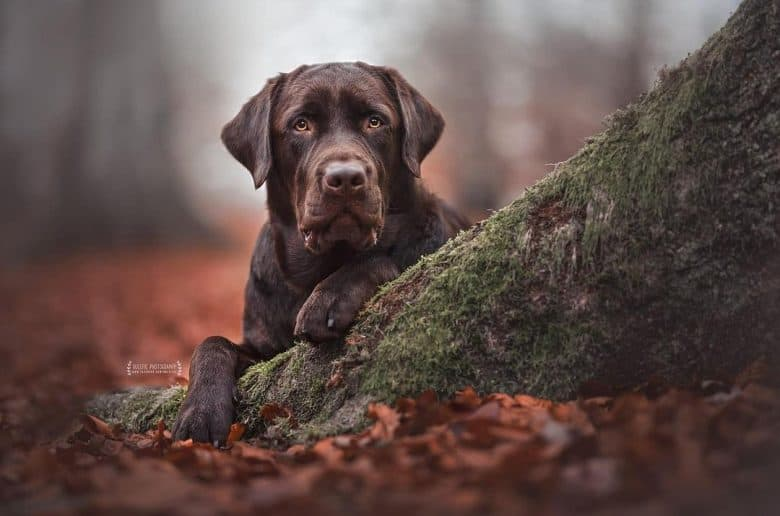 Chocolate Lab in the woods
