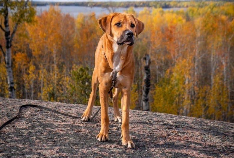 Bullmasador mix dog standing on the overlooking rock