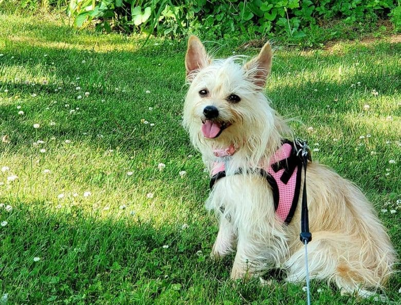 Cairn Terrier Chihuahua Mix