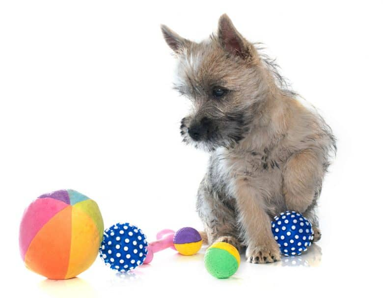Cairn Terrier puppy playing colorful balls