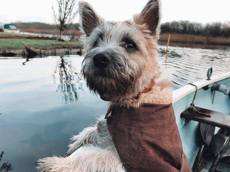 Cairn Terrier riding a boat