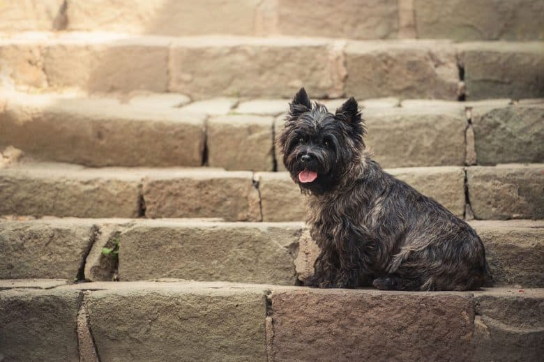 Cairn Terrier sitting in the staircase