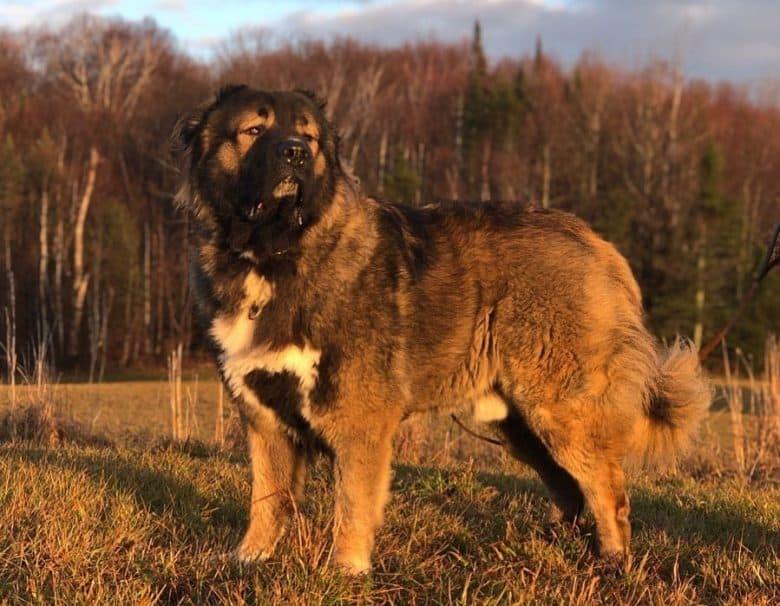 Caucasian Mountain Dog enjoying sunset