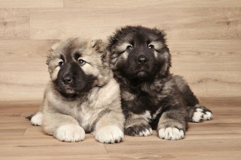 Caucasian Mountain dog puppies