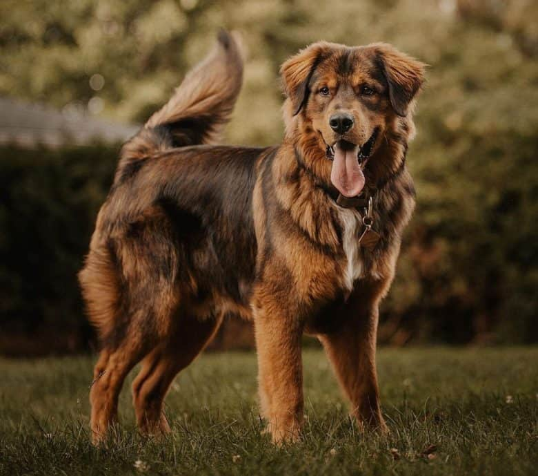 Charming portrait of Golden Mountain dog