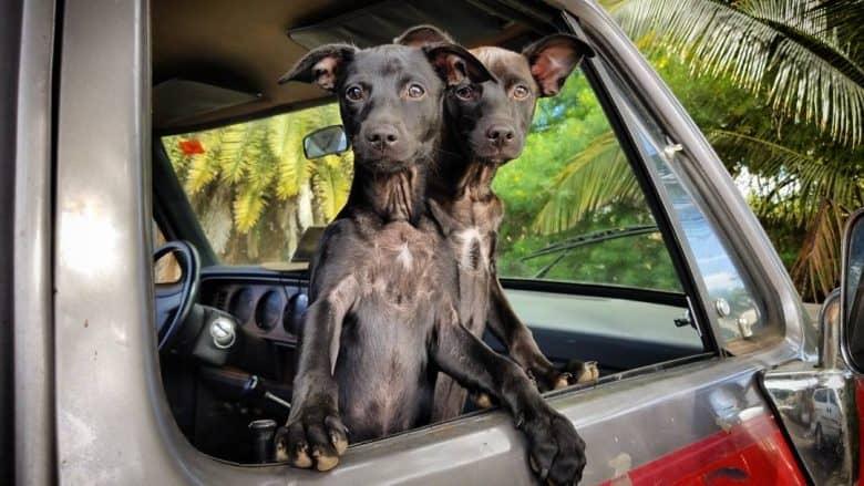 Two Labrahuahuas inside the car