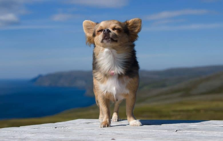 Chihuahua breathing fresh air in the scenic landscape