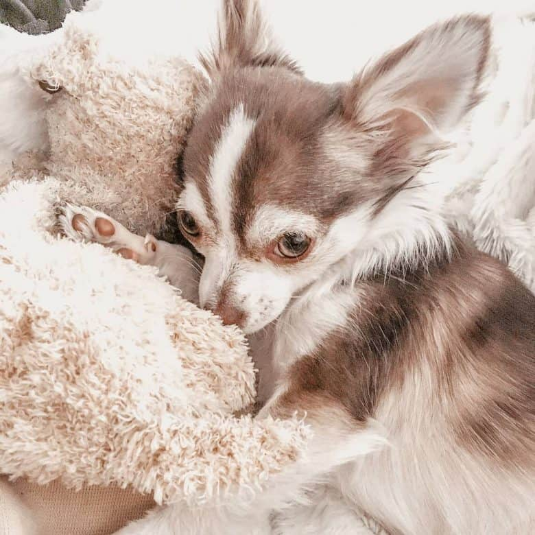Chihuahua Husky mix lying in bed