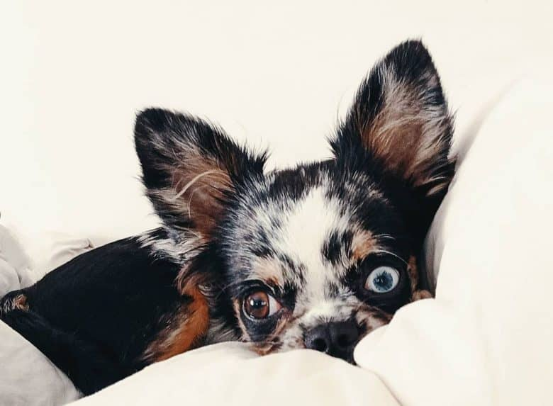 Chihuahua lying in bed
