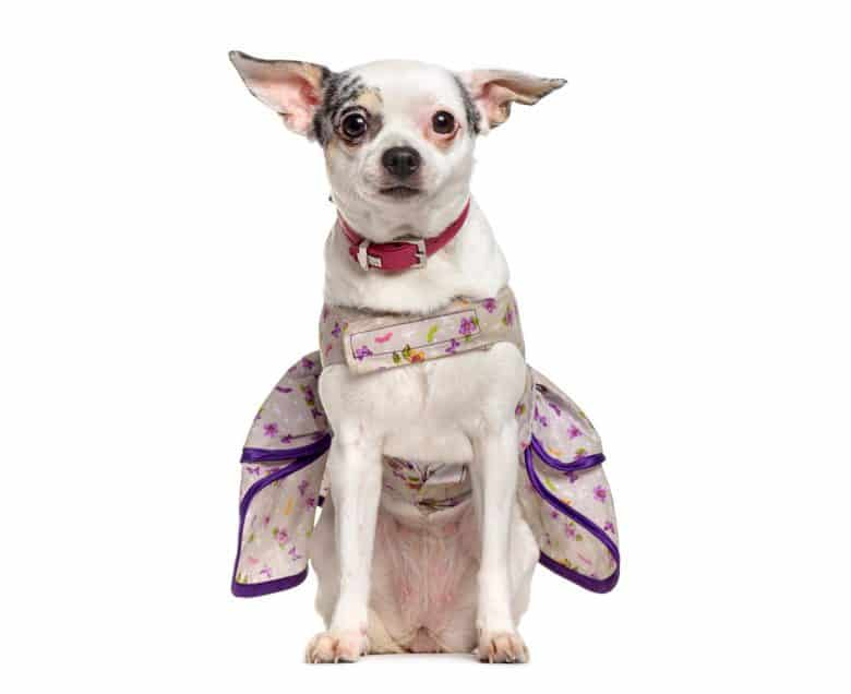 Chihuahua with lovely outfit
