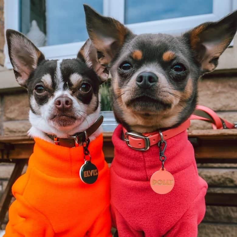 Chihuahuas in orange and red outfit