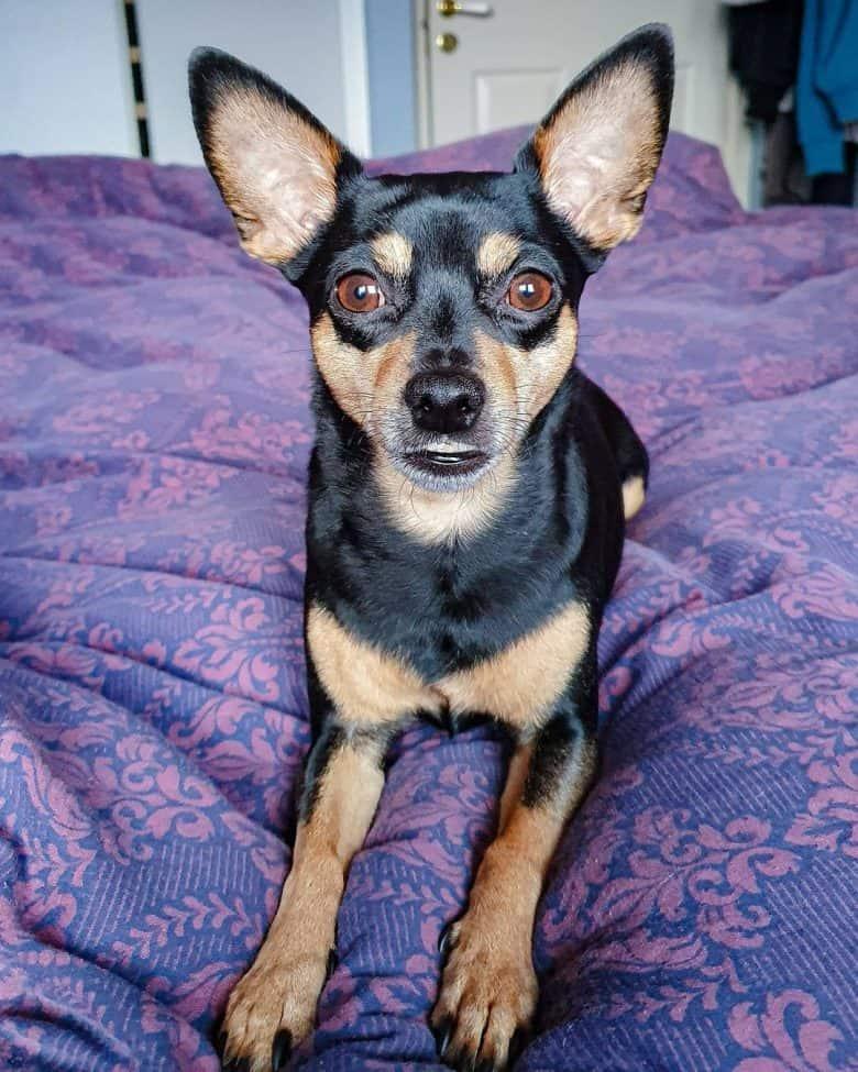 The beautiful Chipin dog