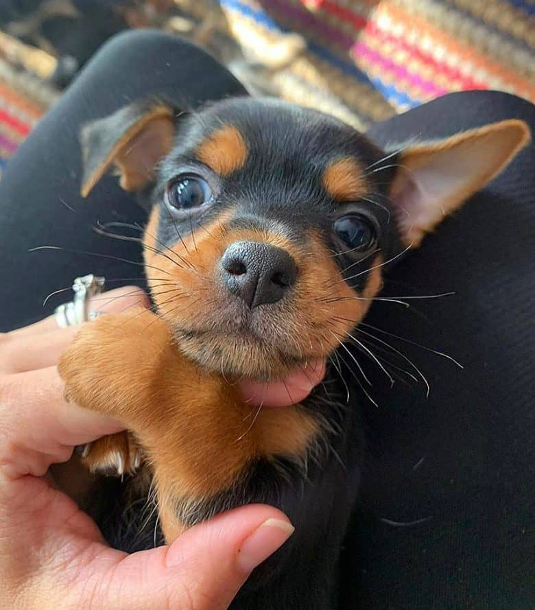 Chipin puppy