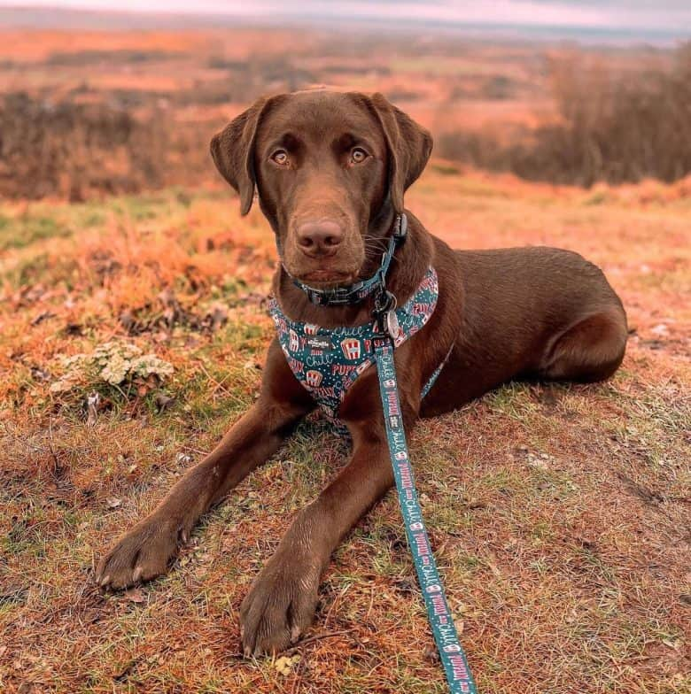 Chocolate Labrador in the top of the hill