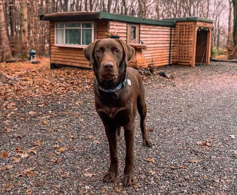 Chocolate Labrador outside the cabin