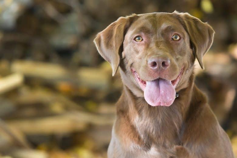 Chocolate Labrador close-up portrait