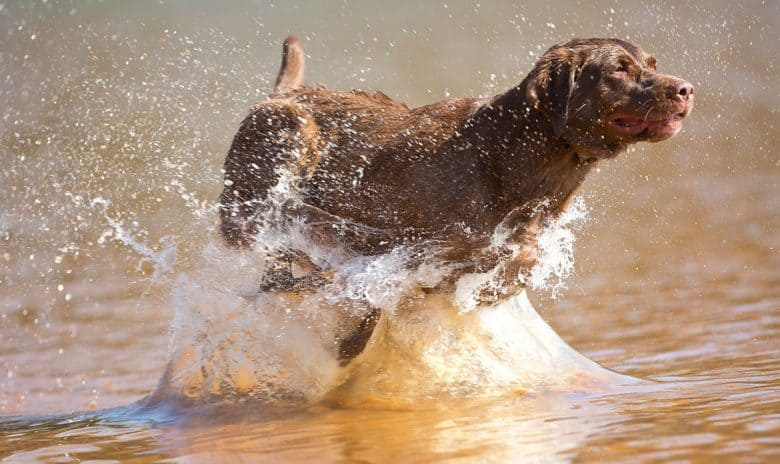Chocolate Lab running in the water