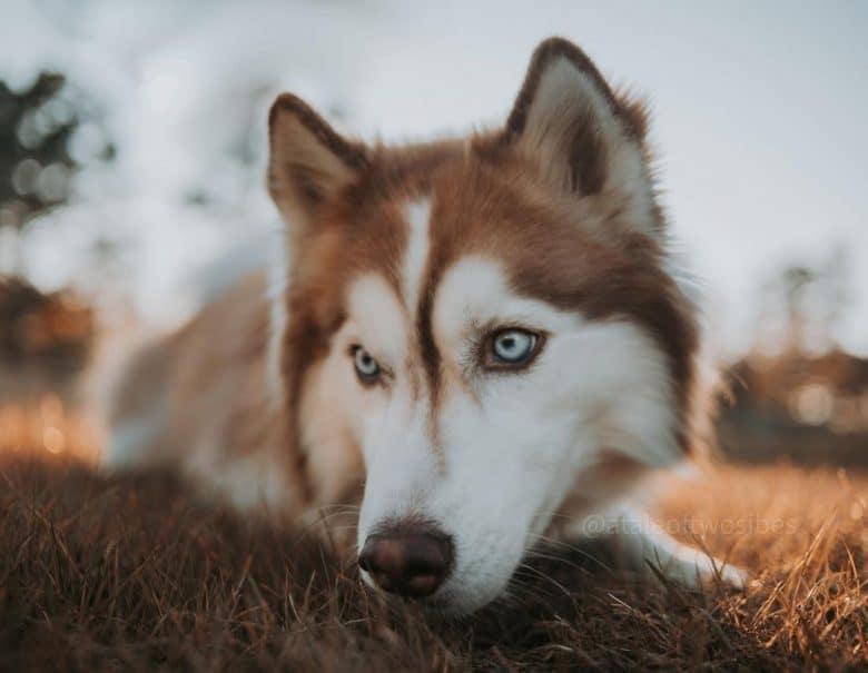 Close-up Red Siberian Husky portrait
