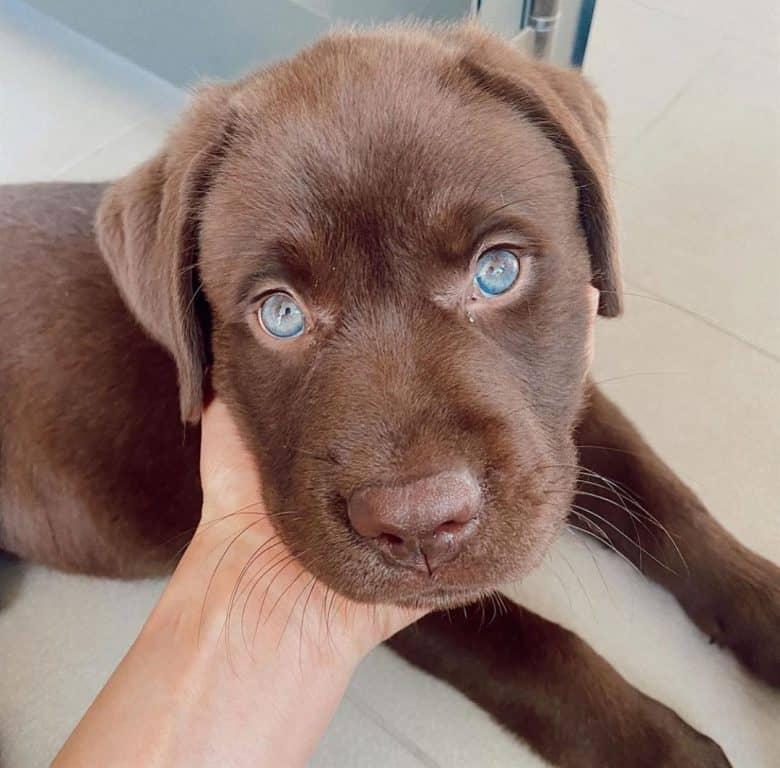 Blue-eyed Chocolate Labrador puppy