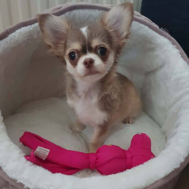 Cute Chi-Husky puppy
