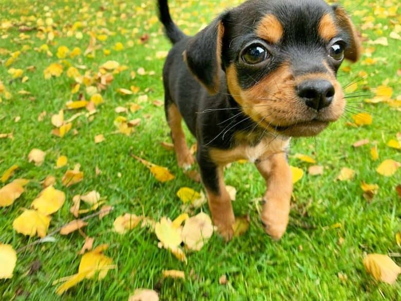 The cute Chipin pup