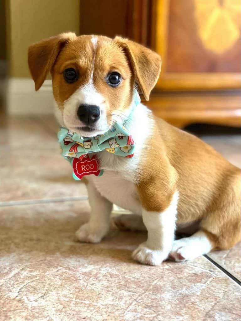 Cute Corgi Lab mix puppy