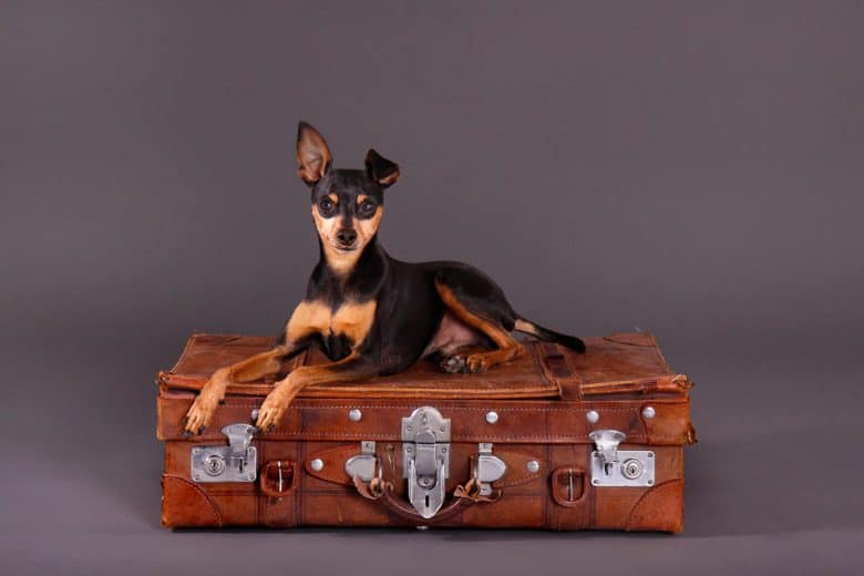 Cute Miniature Pinscher on leather suitcase