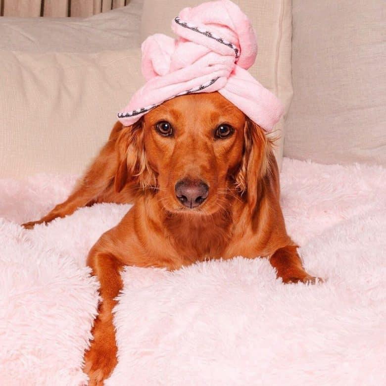 Fresh Dachsador mix dog portrait